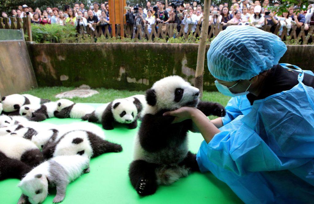 Исследовательский питомник гигантских панд (г. Чэнду), Китай