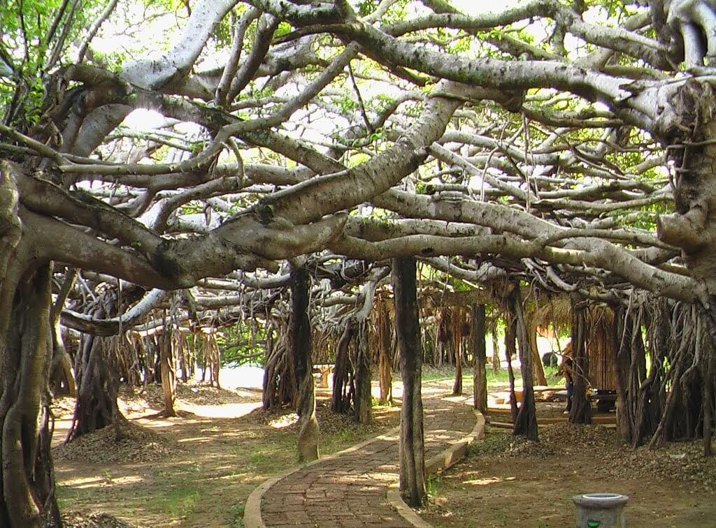 Дерево Сай Нгам, Пхимай, Таиланд